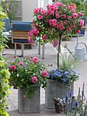 Pink 'Heidetraum' (Rose) Stem, Rosa Generosa 'Dan Poncet'