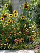 Late summer bed with sunflowers 'Hello' Yellow, 'Autumn beauty'