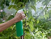 Prunus armeniaca (Aprikosenbaum) beim Sprühen von Pflanzenschutz