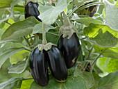 Solanum melongena 'Picola' (mini eggplant)