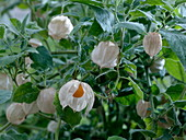 Physalis peruviana (Andean berry)