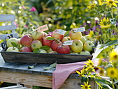 Tray of various apple varieties labeled by trailers