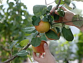 Pick Malus 'Elstar' (apple)