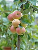 Malus Starline 'Fire Dance' (Columnar apple)