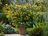 Cassia corymbosa planted with Nemesia