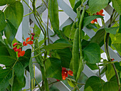 Phaseolus coccineus (runner bean) at rank scaffold