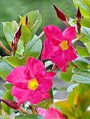 Dipladenia 'Rio pink', Mandevilla