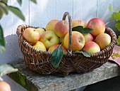 Basket of 'James Grieve' apples