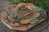 Roof tiles planted with houseleeks and stonecrop