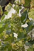 White grape 'Theresa' (Vitis vinifera)