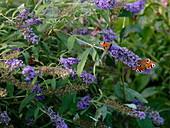 Buddleja Buzz 'Violet' (summer lilac) with Aglais io