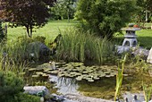 Small naturally created pond with Nymphaea (water lily)