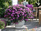 Solitär von lila Fleißigen Lieschen im weißen Topf