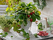Strawberry plant with fruits in white footed pot