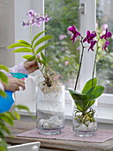 Orchids are sprayed with water at the roots