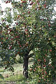 Resistant apple variety 'Evelina' (Malus)