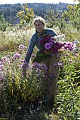 Woman cuts flowers in the aster bed