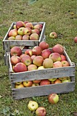 Wine boxes filled with apples on the lawn