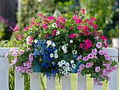 Balcony box with petunias, geraniums, bird-eye and verbenas