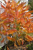 Rhus typhina (staghorn sumac) in bright autumn color