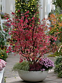 Bowl with cork-stem spindle shrub in autumn coloration