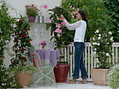 Mandevilla splendens with large rose flowers, Mandevilla Sundaville 'Cosmos