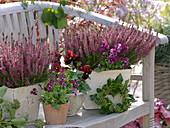 Calluna Garden Girls 'Amethyst' (Budding Broom Heath)