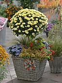 Chrysanthemum (autumn chrysanthemum) stem planted with Abelia