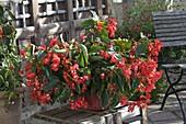 Begonia 'Dragon Wing' (Dragonfly Begonia)