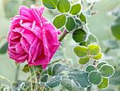 Rosa 'Chartreuse De Parme', fragrance rose, often flowering