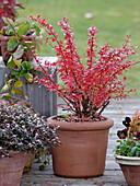 Berberis thunbergii 'Atropurpurea' (barberry)