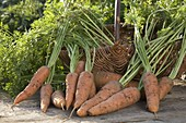 Freshly harvested carrots, carrots (black carrot)