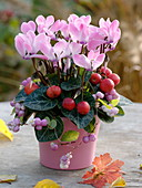 Cyclamen 'Salina' decorated with ornamental apples