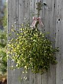 Viscum albus (mistletoe) branch hanged on board wall