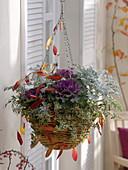 Hanging basket planted with Brassica, Abelia grandiflora 'Confetti'
