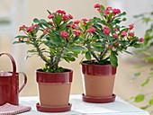 Euphorbia millii 'Ruby' (Christusdorn) in Topf mit Untersetzer