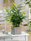 Elettaria cardamomum in square basket planter