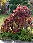 Hydrangea quercifolia (oak leaf hydrangea) in autumn color