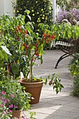 Bell chillies 'Bishop's Crown' (Capsicum) in clay pot