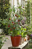 Tree chili 'Rojo' (Capsicum) in red pot on wooden bench