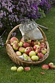Basket with apples (malus), fruit picker