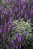 Salvia nemorosa 'Amethyst' (Ziersalbei), Phlox paniculata 'Nora Leigh' (Weißbunte Flammenblume)