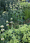 Phlomis russeliana (Brandkraut), Alchemilla (Frauenmantel), Achillea (Schafgarbe)