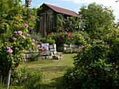 Garden with historical scented roses, drywall and shed