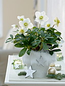 Helleborus niger 'Christmas Star Princess' in ceramic pot