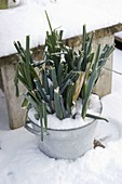 Zinkschüssel mit Porree (Allium porrum)