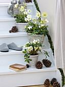Helleborus niger 'Christmas Star Princess' (Christrosen) in rustikalen Töpfen