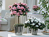 Rhododendron simsii tribe 'Christine Matton' salmon-colored, 'Christine Belli'
