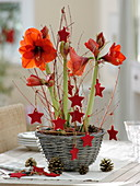 Hippeastrum 'Red Lion' decorated with red felt stars