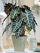 Alocasia sanderiana (Alokasie, arrow leaf)